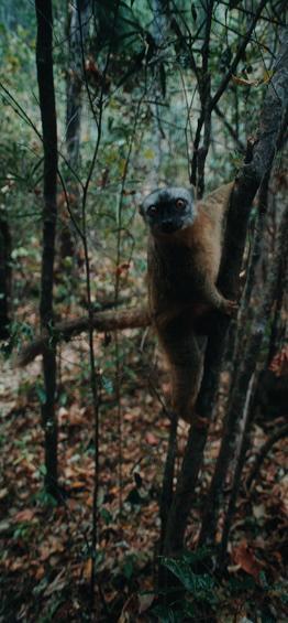 Nez à nez avec un lémurien dans l'Isalo...